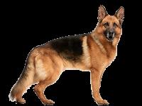 جرمن شفرد - German shepherd