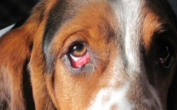 بيماري هاي چشم در سگ ها