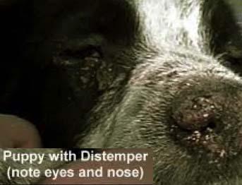 ویروس دیستمپر در سگها