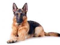 جرمن شفرد - German shepherd