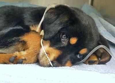 ویروس پاروا در سگها