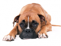 stockvault-boxer-dog-lying-down131801_cleaned