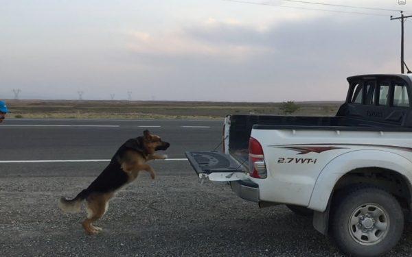 آموزش و تربیت سگ : فرمان برو تو ماشین