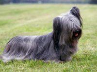 اسکای تریر , Skye Terrier