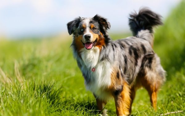 نژاد بردر کولی –  Border Collie