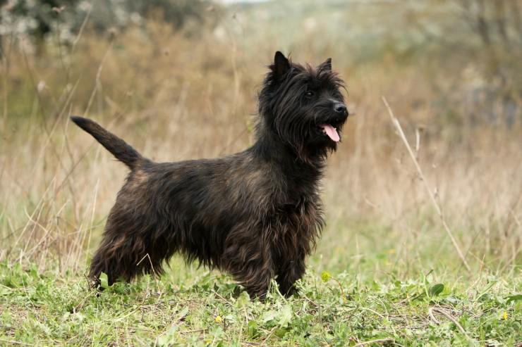 نژاد کرن تریر – Cairn Terrier