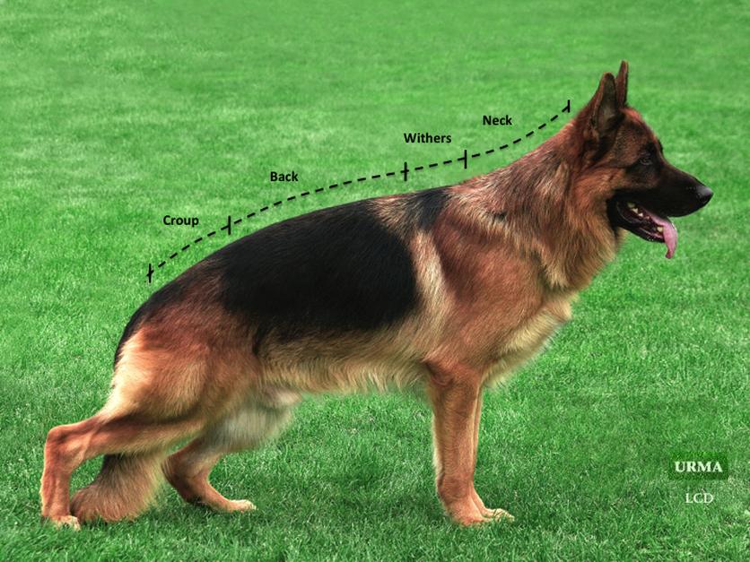نژاد جرمن شفرد – German shepherd