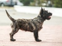 کرن تریر - Cairn Terrier