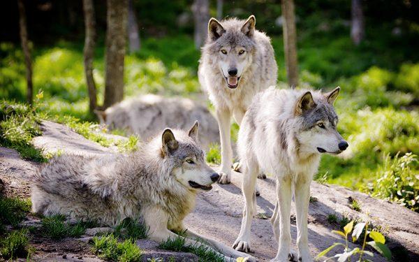 آموزش و تربیت سگ : رفتارهای سگ آلفا