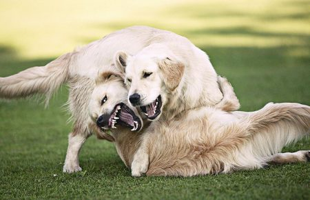 آموزش و تربیت سگ : مخالفت و نزاع سگ ها با یکدیگر