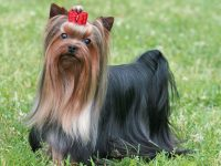 یورکشایر تریر - Yorkshire Terrier