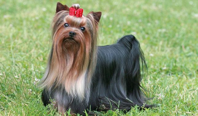 نژاد یورک شایر تریر – Yorkshire Terrier
