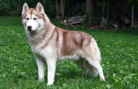 نژاد هاسکی – Husky