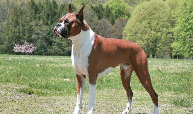 نژاد بوکسر – Boxer