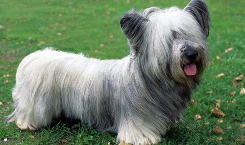 نژاد اسکای تریر – Skye Terrier