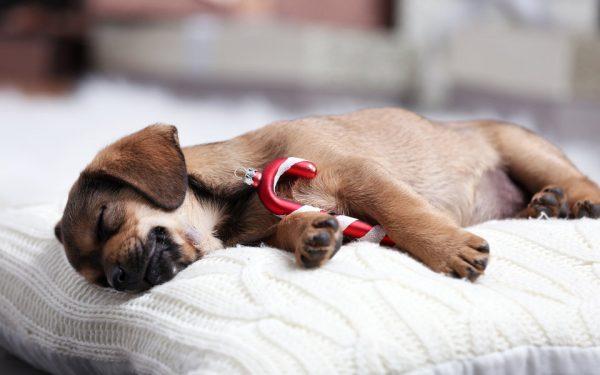 فوریت دامپزشکی غیر پیش بینی شده سگ ها